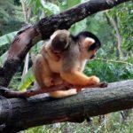 玻利維亞松鼠猴寶寶的誕生。