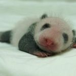 大熊貓寶寶長大了。