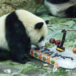 台灣熊猫「円宝」生日快樂